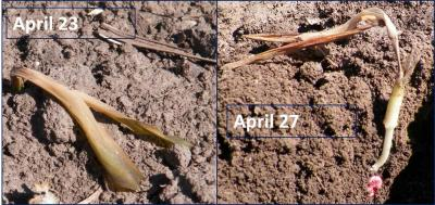 Figure. Corn planted April 1, experienced below freezing air temperatures early morning April 21 and 23. Note on the photo dated April 27,  although the above-ground tissue is dead, the growing point remains largely undamaged.