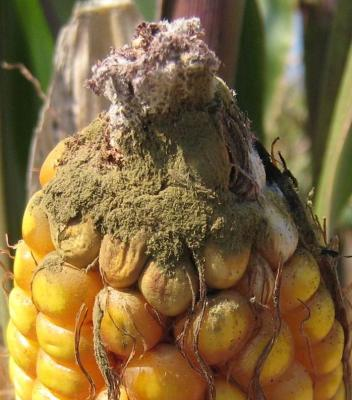 Figure. Aspergillus ear mold is abundant in southern and central Illinois (photo - Robert Bellm).