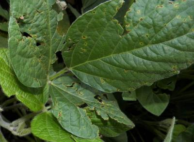 Figure. Bacterial blight of soybean symptoms include angular brown lesions surrounded by yellow halos. Lesions can merge to create large, dead areas which can fall out resulting in leaves with a tattered appearance.