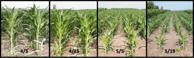 Figure. Corn planted on different dates in 2016 at the NWIARDC. From Left to right is corn planted on April 5, April 15, May 5 and May 19.