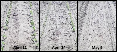 Figure. Corn growth after different planting dates on May 18, 2017.
