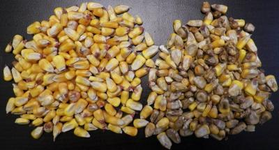 Figure. Corn harvested at the Northwestern Illinois Ag R&D Center in Monmouth in 2016. Healthy corn is on the left and corn with Diplodia ear mold symptoms and signs is on the right. (Source: Marty Johnson, Senior Research Specialist)