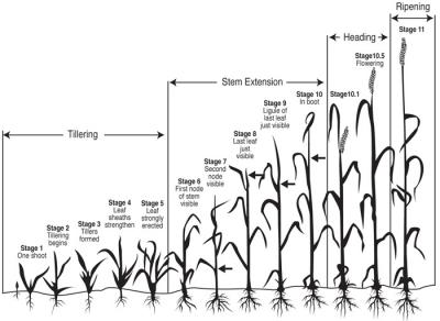 Figure. Feekes scale of wheat development. Graphic by Jerry Downs. Adapted from: Large, E.C., 1954. Growth stages of cereals: Illustration of the Feekes scale. Plant Pathology 3:128-129. (New Mexico State University).