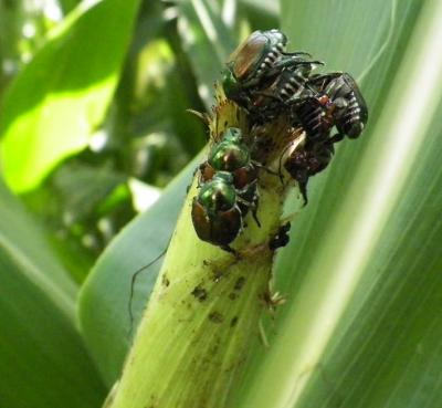 Figure. Japanese beetles feeding on corn silks at the Northwestern Illinois Ag R&D Center in Monmouth.