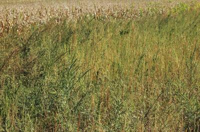 Figure. Palmer amaranth in a soybean field in Kankakee County, Illinois, 2013. The height of the plants can be compared to the mature corn in the background. (Photo credit: Dr. Aaron Hager).