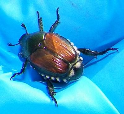 Figure. Japanese beetle; notice the iridescent metallic green head, the copper colored wings and the white tufts of hair along the sides and posterior. The tufts of hair or setae help in distinguishing the Japanese beetle from look alikes.
