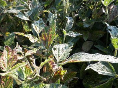 Figure. Symptoms of sudden death syndrome (SDS) beginning to appear in Western Illinois soybeans. Yellowing and browning of the tissue between leaf veins is one symptom that can help in diagnosis.