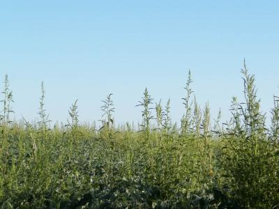 Figure. Profile photo of the waterhemp infestation in a soybean field in Western Illinois in 2015.