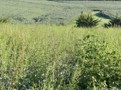 Figure. Soybeans are difficult to see from this vantage point due to all of the waterhemp plants in this field. Note that the field in the background appears from this distance to be weed-free.
