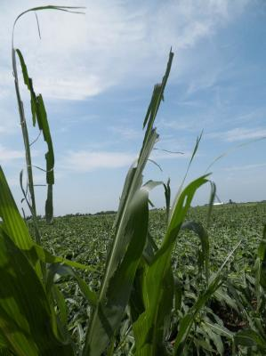 Figure. Corn plants injured by wind and hail on June 22, 2016 at the Northwestern Illinois Agricultural R&D Center in Monmouth.
