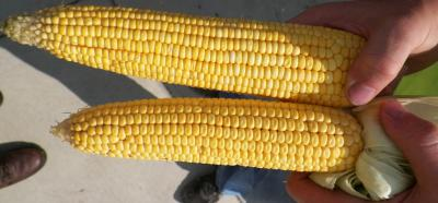 Figure. These corn ears were picked on August 3, 2016 in Monmouth, IL. Why are these corn ears so different? How might this difference affect yield estimates?