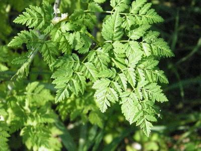 Figure. Poison hemlock leaf. In 2016 poison hemlock plants have grown very tall (up to 7 ft), forming dense shrubs. These carrot relatives produce alkaloid compounds that are toxic to humans and other animals when consumed.