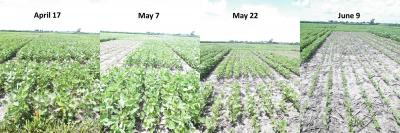 Figure. Soybean plant development in a planting date trial (June 26, 2014).