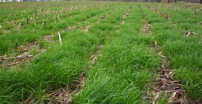 AnnualRyegrass1