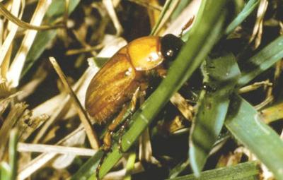 Masked chafer - adult form of white grub