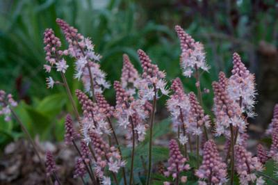 2010 04 foamflower tiarella-3