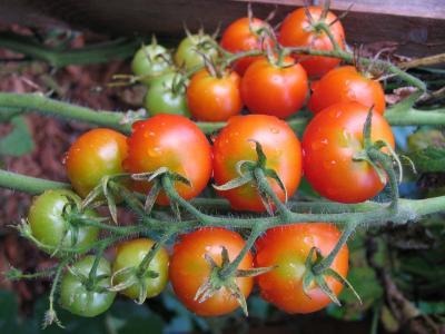 tomatoes-817906 1280