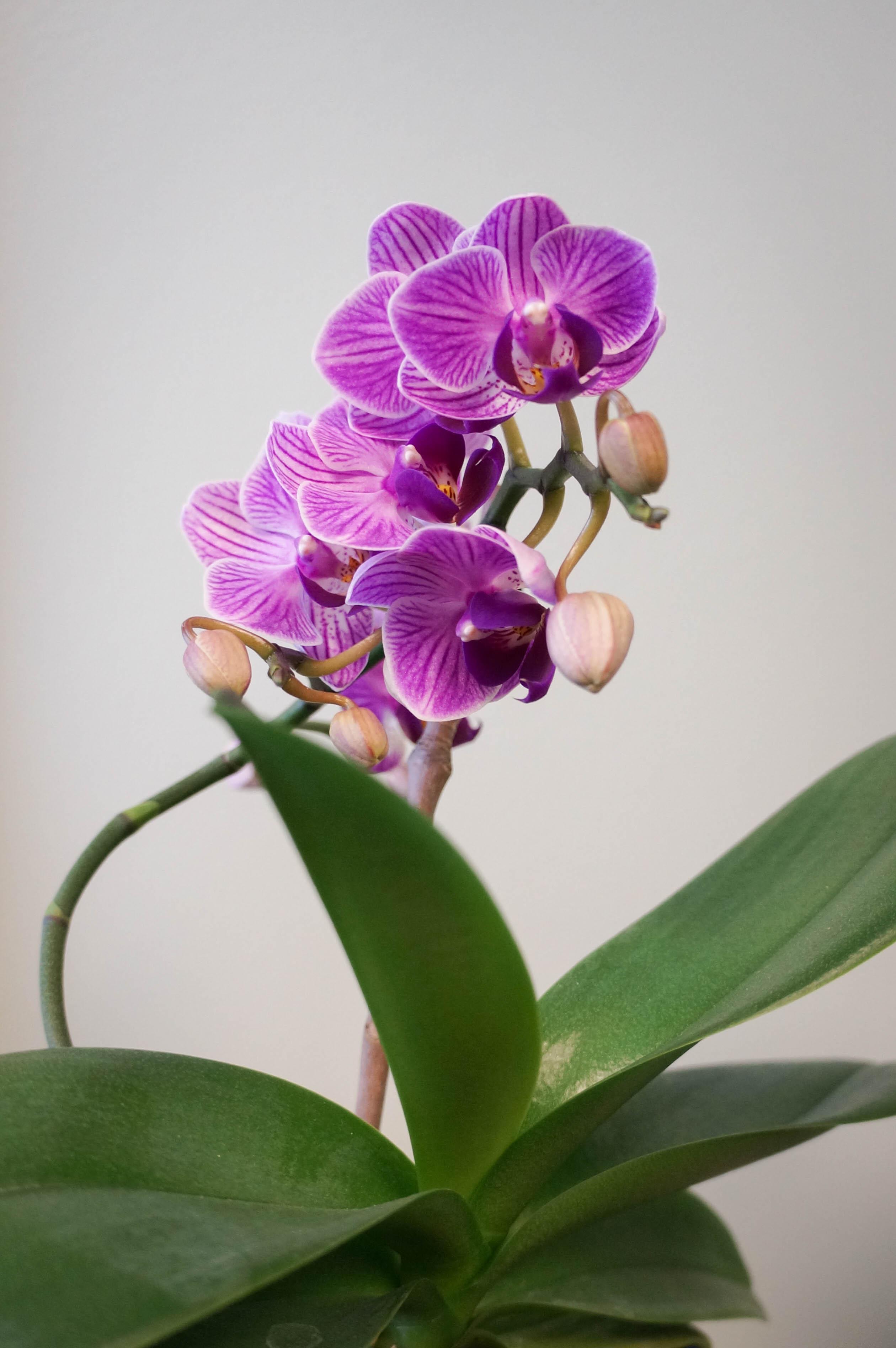 https://extension.illinois.edu/photolib/lib2211/Orchid%5F2.jpg