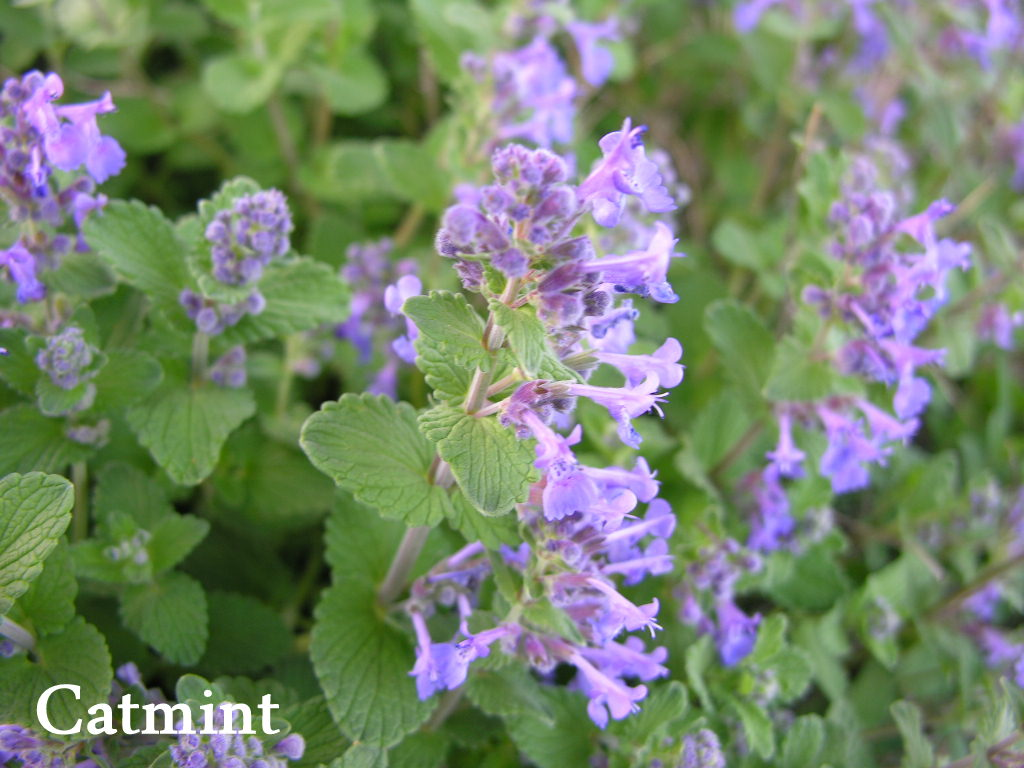 https://extension.illinois.edu/photolib/lib2211/catmint%5Flabeled.jpg