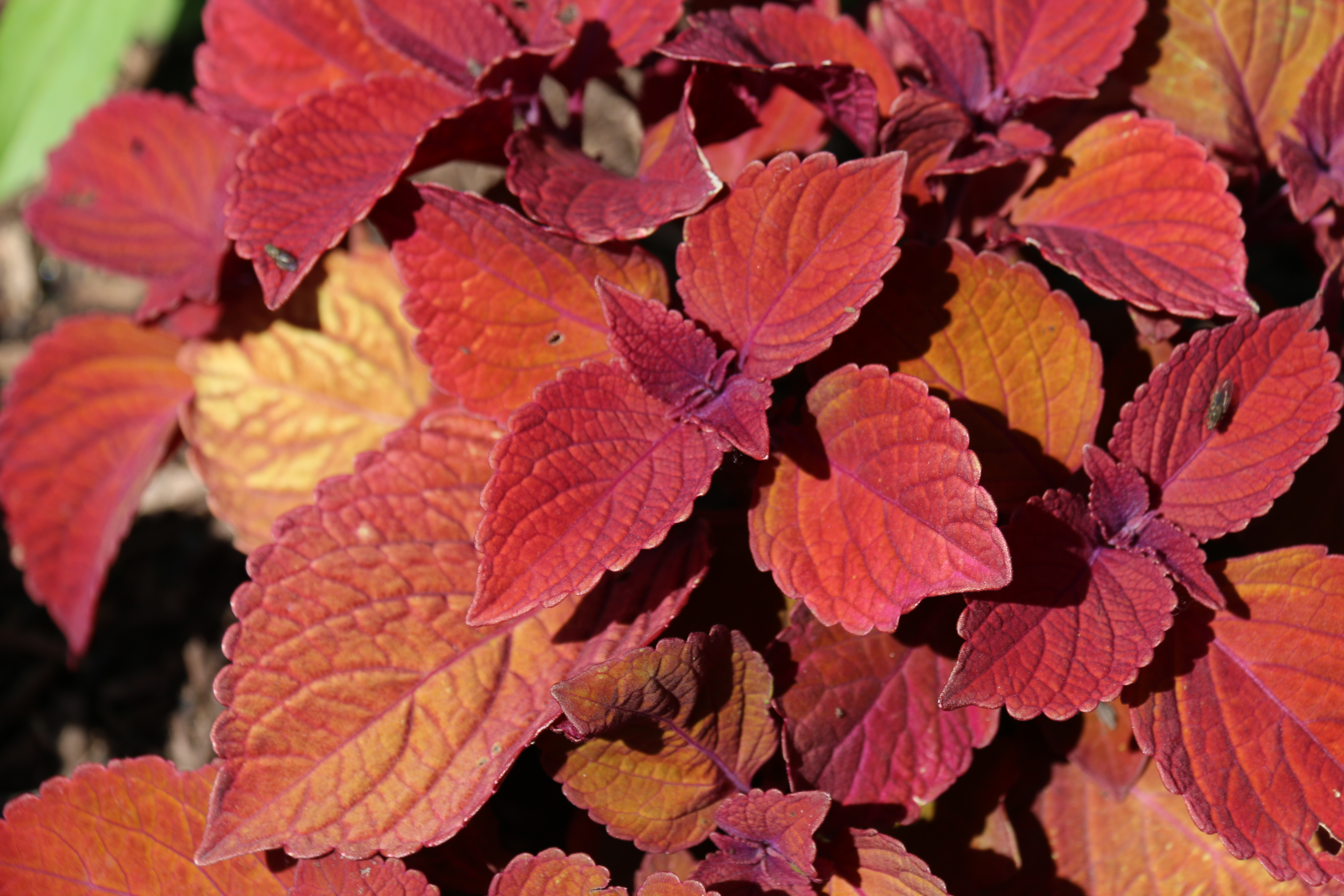 https://extension.illinois.edu/photolib/lib2211/coleus%5Fcampfire2.jpg