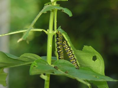 monarch caterpillar common milkweed2forweb