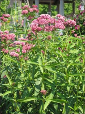 swamp milkweed IG