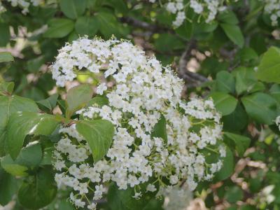 vib prunifolium