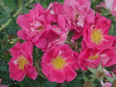 william baffin rose2