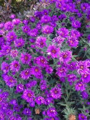 'Purple Dome' New England Aster