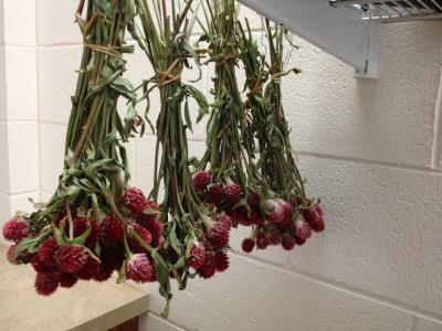 Drying Gomphrena