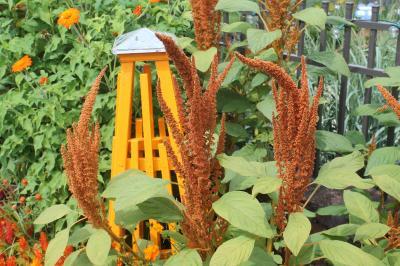 Bronze colored Amaranthus caudatus
