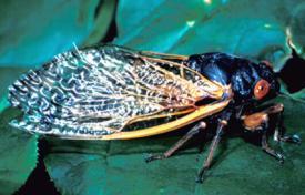 per cicada adult