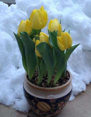 Yellow Forced Tulips