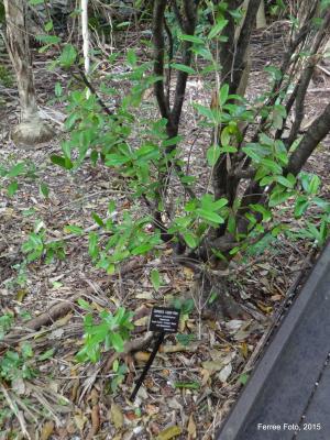 Jamaican caper (Capparis cynophallophora)