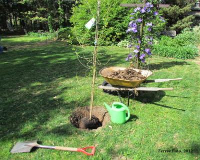 Planting black tupelo tree