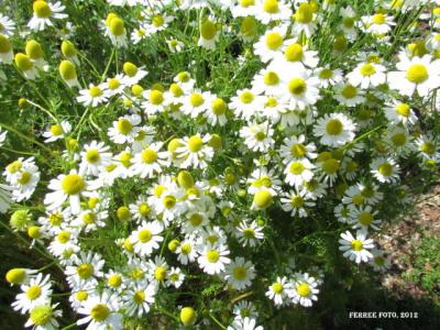 German Chamomile in bloom.