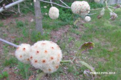 Wool sower gall on white oak