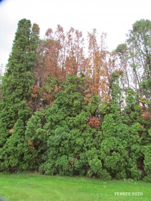 winter injury on arborvitae