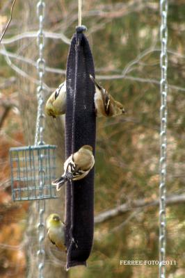 Goldfinches on a finch feeder