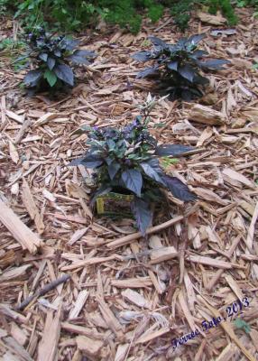 Purple Flash ornamental pepper