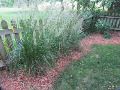 Karl Forester Miscanthus grass