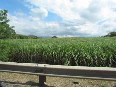 Sugar cane in Dominican Republic