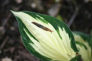 Slug on hosta