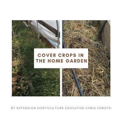 Cover crops in the Home GArden