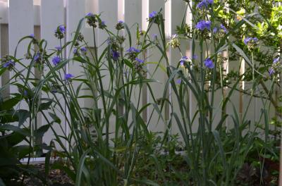 Ohio Spiderwort (Tradescantia ohiensis) in my garden.