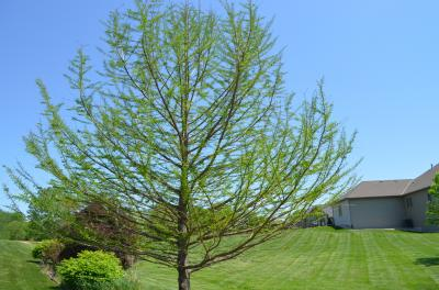This bald cypress tree is sited in a high wind area yet, is able to tolerate the heavy wind loads. You can tell the constant wind has caused the limbs on the downwind side to curl upward in their growth.