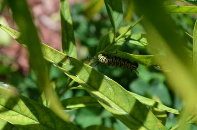 It is a dangerous world for a monarch caterpillar.