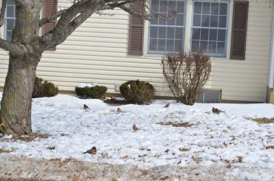 Robins eating crabapples during a late winter snow.