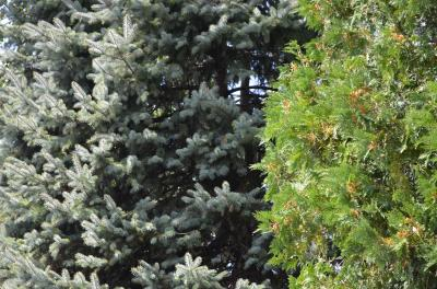 Can you spot the newly released monarch butterfly?