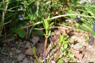 Rose/Swamp milkweed (Asclepias incarnata) emerging in my backyard